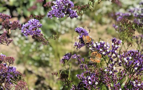 Butterfly migration swarms campus