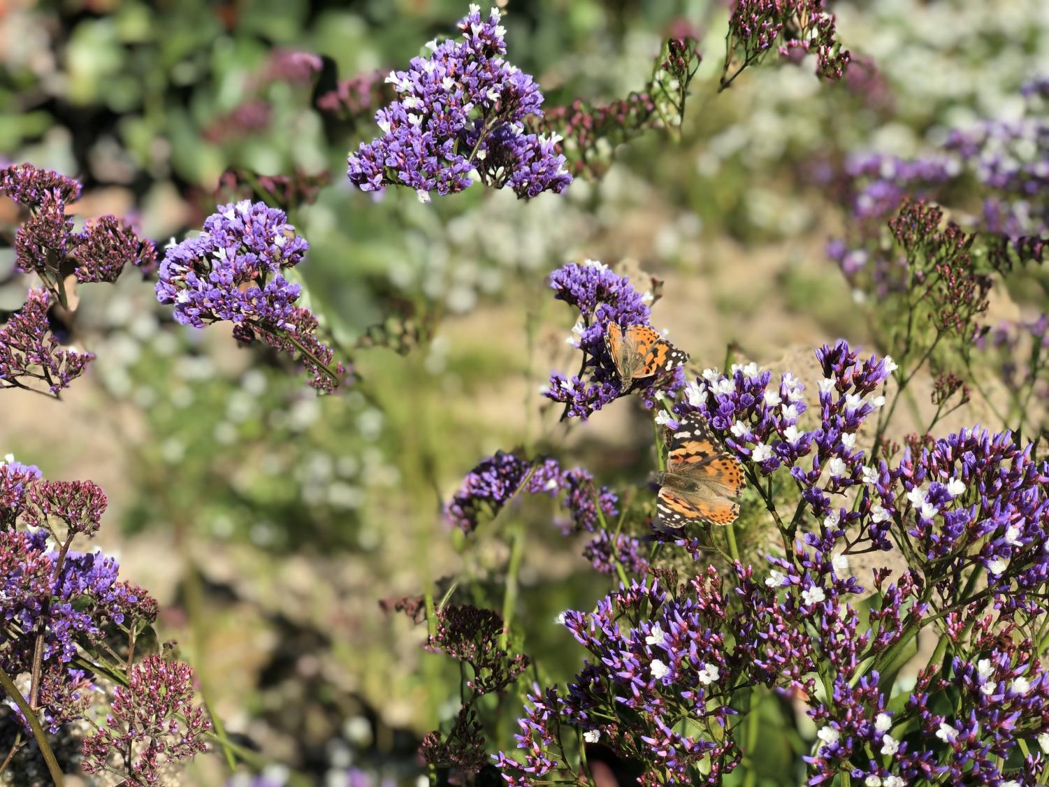 Two painted ladies frolic amongst the vibrant purple flowers in Upland, CA.
