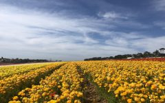 Wildflowers head to California for a super bloom