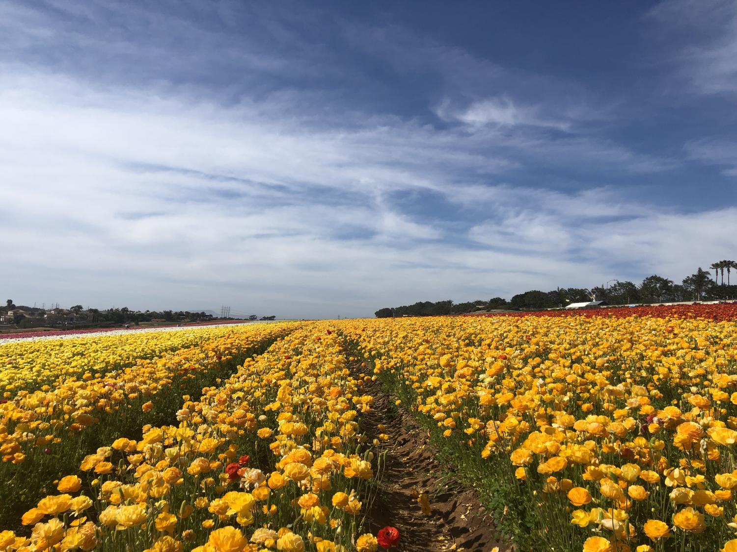 Millions of multi-colored flowers spread for over a mile at The Flower Fields in Carlsbad, CA.