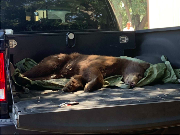 After+being+tranquilized+by+the+California+Fish+%26+Game+Department%2C+the+bear+lies+peacefully+in+the+back+of+the+warden%E2%80%99s+truck.+He+would+soon+be+relocated+twenty+miles+away+from+The+Webb+Schools.+