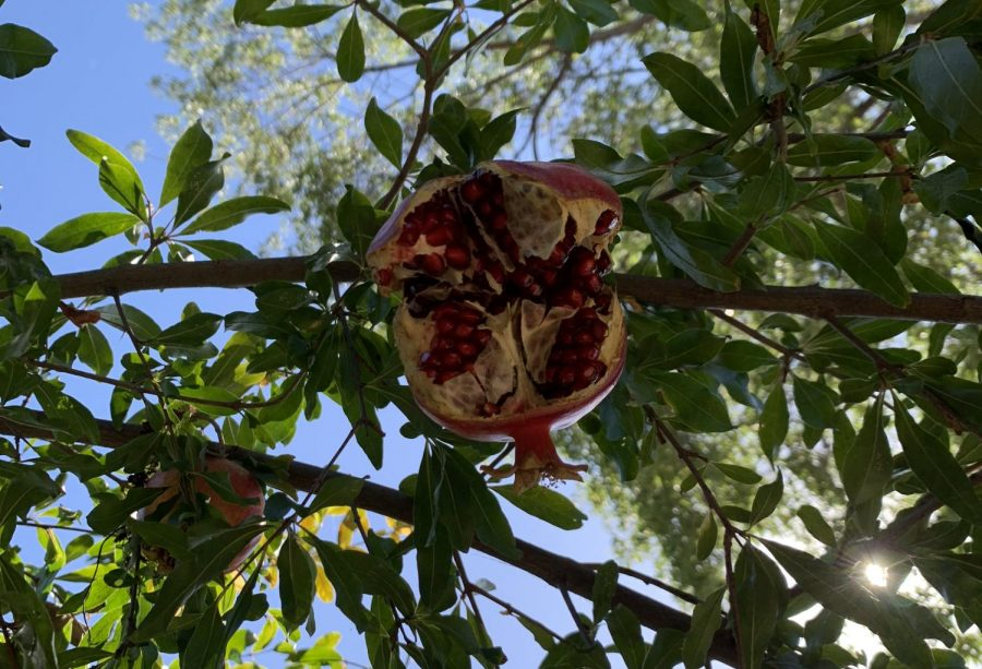 A split pomegranate exists on a tree outside of the Jones dorm.