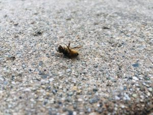 A dead bee lies in front of Fawcett Library